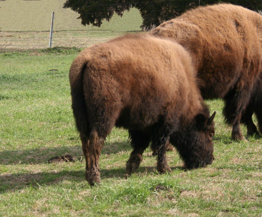 Bison Calves and Yearlings - Frasier Bison L L C